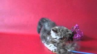 экзоты на питомнике ELIT BELL httpelitcats com