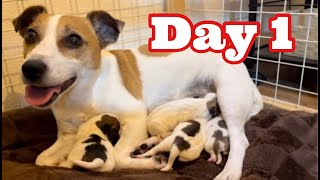 Jack Russell Terrier Puppy's growth record Day 1
