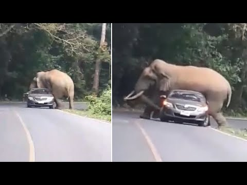 Angry Elephant CRUSHES Car It Refuses To Let Past