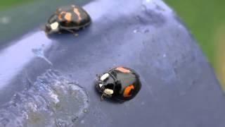Harlequin Ladybirds - Swansea, Wales, U.K.