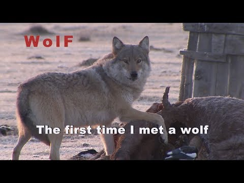 Wolf, Asia, Mongolia,