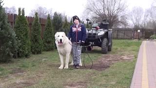 Owczarek Środkowoazjatycki tel +48 665 622 512 (WhatsApp, Viber) prezentacja psa w obronie dziecka!