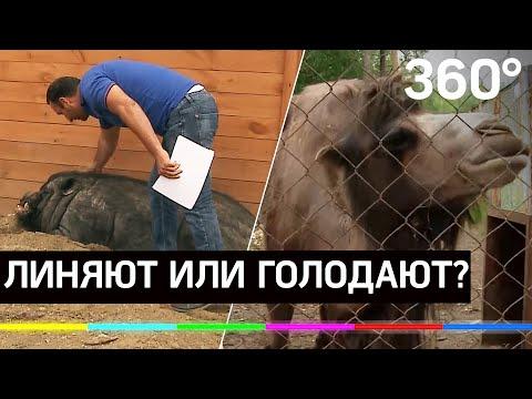 Медведь в фекалиях и умирающий верблюд. Ужасы свердловской фермы обсуждают в соцсетях