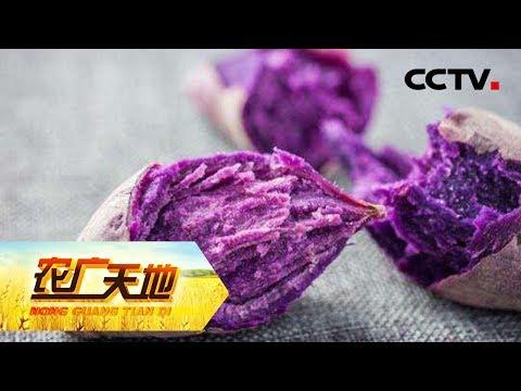 《农广天地》 20180527 门外汉巧发紫薯财CCTV农业