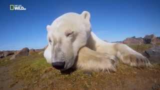 Ice Bear   Полярный медведь