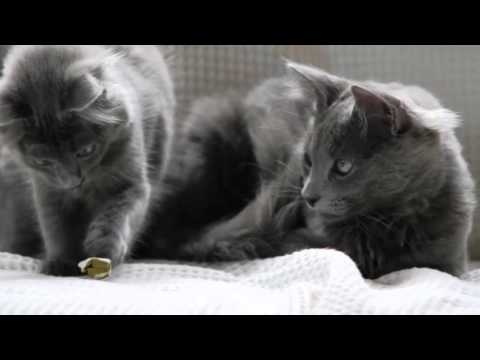 Beautiful photo of Nibelung breed cats
