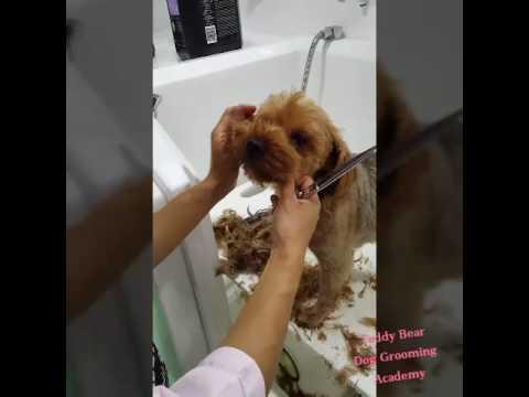 Asian Fusion Teddy Bear Dog Grooming Academy Youtube