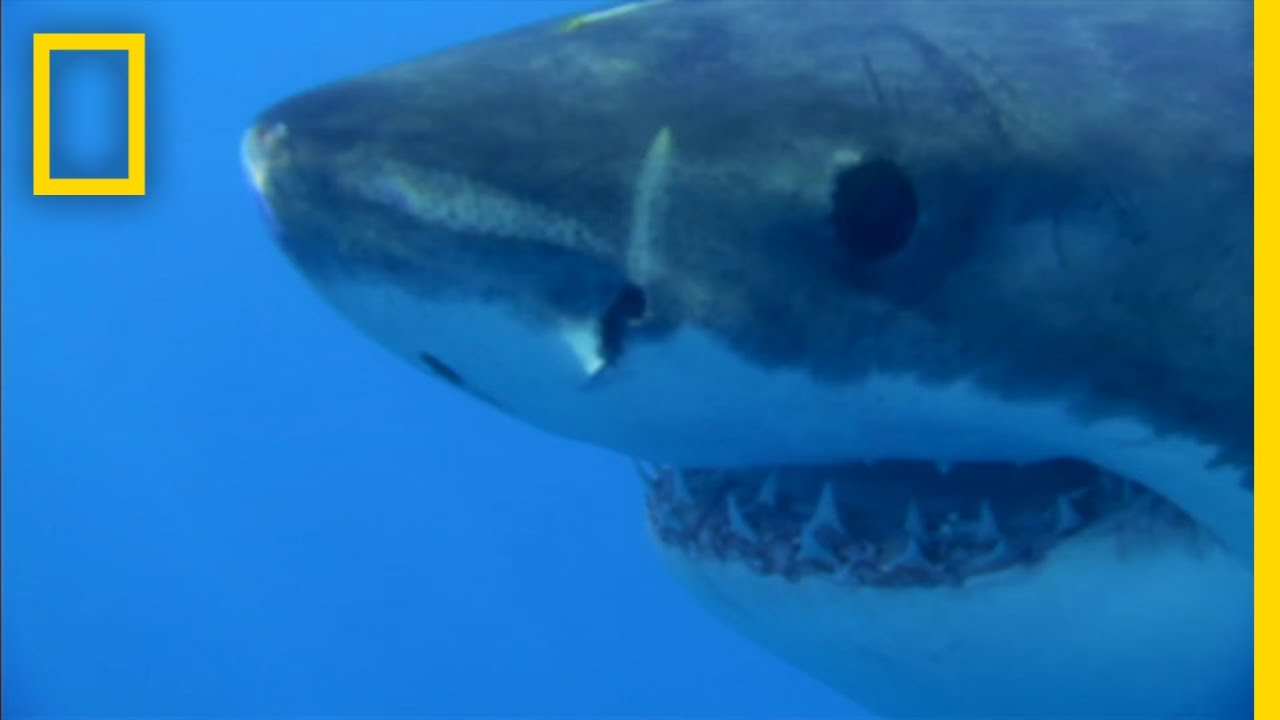 This Great White Shark Is Hangry For Seal | National Geographic