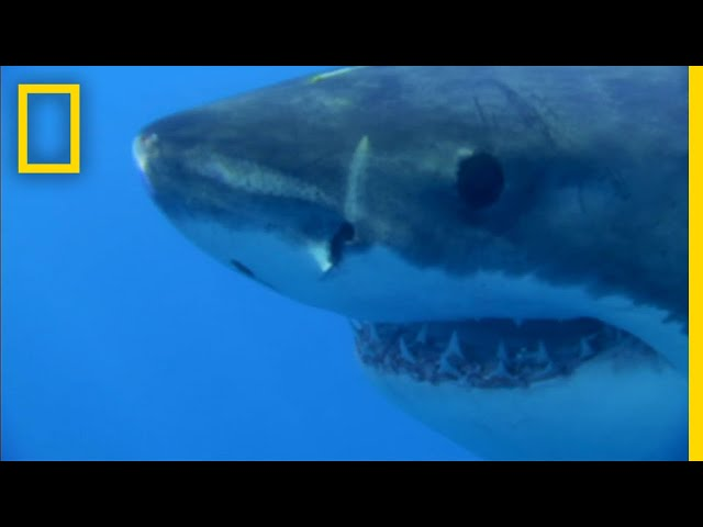 This Great White Shark Is Hangry For Seal   National Geographic