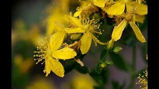ЦЕЛЕБНЫЕ СВОЙСТВА ЗВЕРОБОЯ Лечебные травы Народная медицина Лечебный чай Описание зверобоя