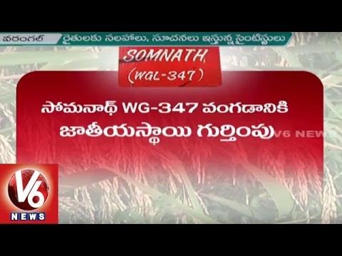 Somnath (WGL-347) | Central Seed Committee Approves New Variety of Paddy | Warangal | V6 News