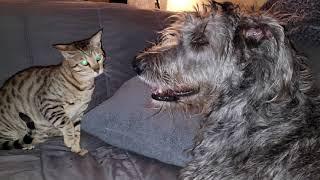 Almost 7 months old Savannah cat vs Irish Wolfhound.