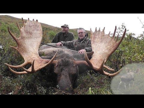 Alaska Yukon bull moose. Hunter takes this big Alaska Yukon moose.