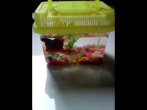 Ikan mas koi vs cupang
