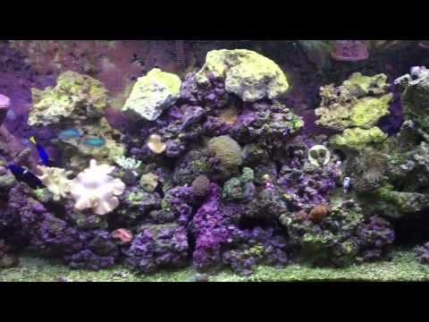 Coralline algae growth purple rock in aquarium doovi for White algae in fish tank