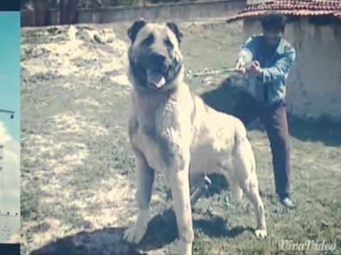 Dogs Kill Wolf Video