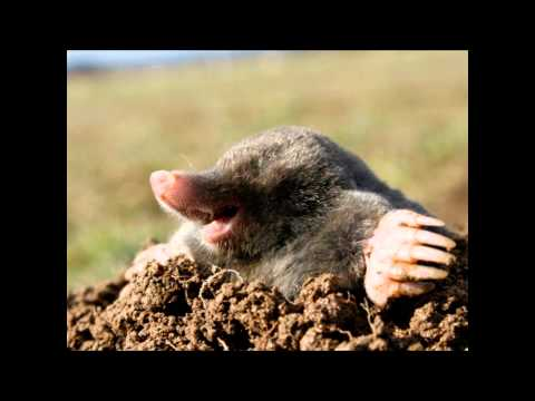How To Get Rid Of Moles | How To Get Rid Of Moles In Yard : How To