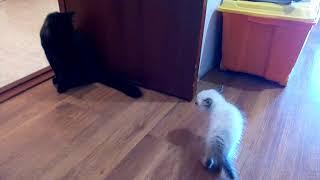 Сиамский котёнок шипит на большого кота