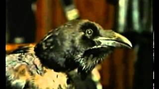 Говорящий ворон Карлуша