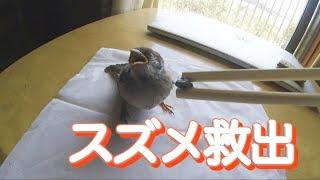 【スズメ】道路に飛べなくなっていたスズメ...