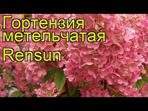 Гортензия метельчатая Ренсан. Краткий обзор, описание hydrangea paniculata sundae fraise Rensun