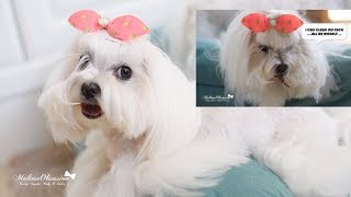 Maltese 'SELF' Grooming:  DOLCE Face Washing  how a dog cleans her own face after eating  말티즈