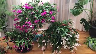 💐Рождественики цветут 💐мой зимний сад 😊прошу знатоков комнатный растений помочь мне 😳