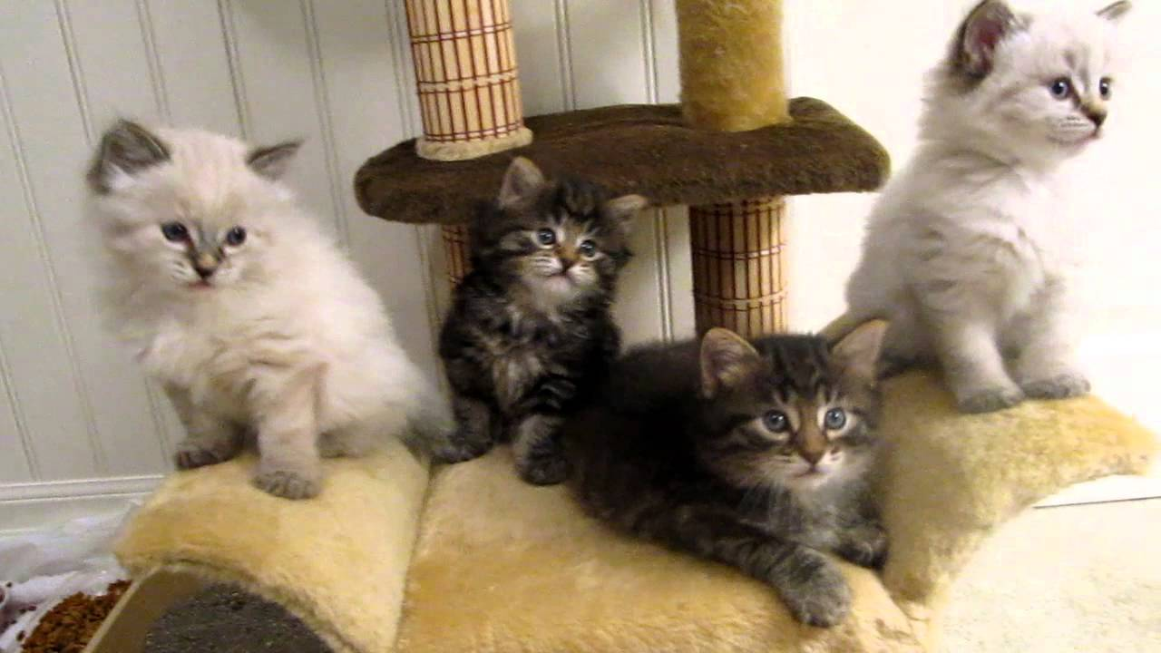 39 Day Old American Bobtail Kittens Youtube