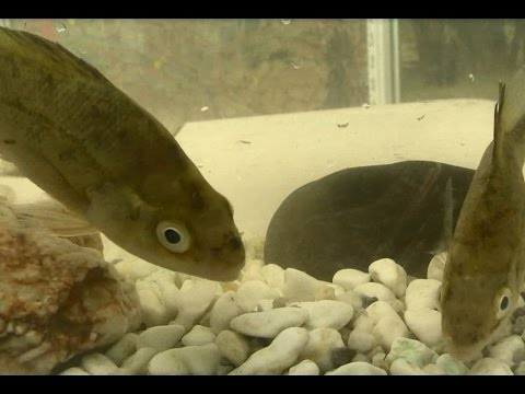 Macquarie Perch: threats, actions and recovery
