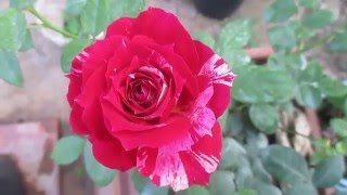 Hoa hồng Julio Iglesias Rose (ngày 30/04/2016)