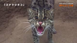 神戸どうぶつ王国のメスのスナドリネコ。水に入り、魚を捕ろうとする様...