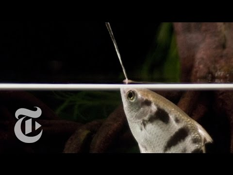A Fish That Spits With Perfect Aim: Archerfish in Action | ScienceTake | The New York Times