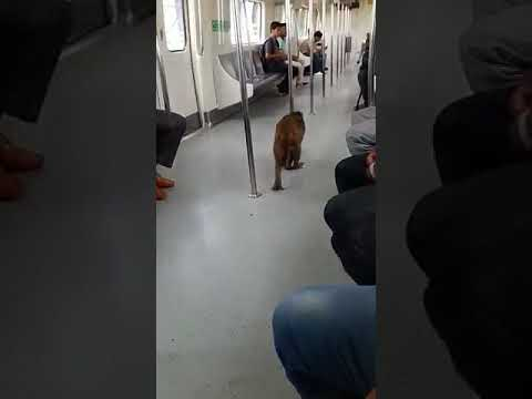 Monkey trapped in metro