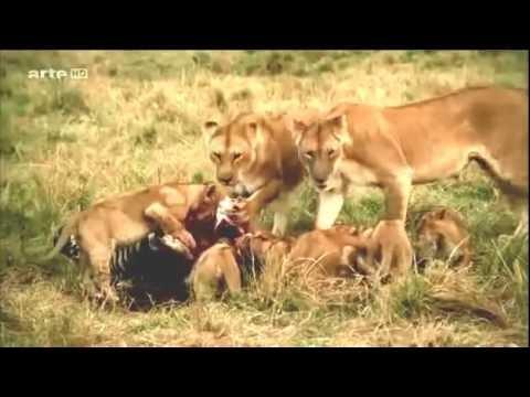 Les animaux de savane africaine youtube - Animaux savane africaine ...