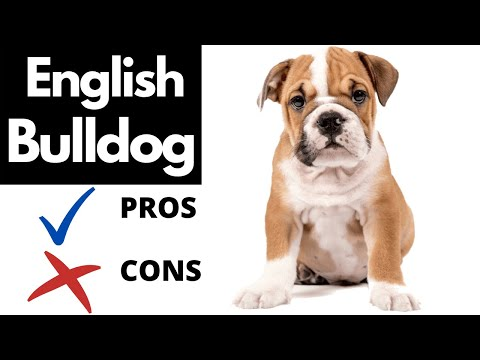English Bulldog Pros