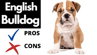 English Bulldog Pros And Cons | The Good AND The Bad!!