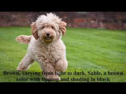 Cockapoo puppy information