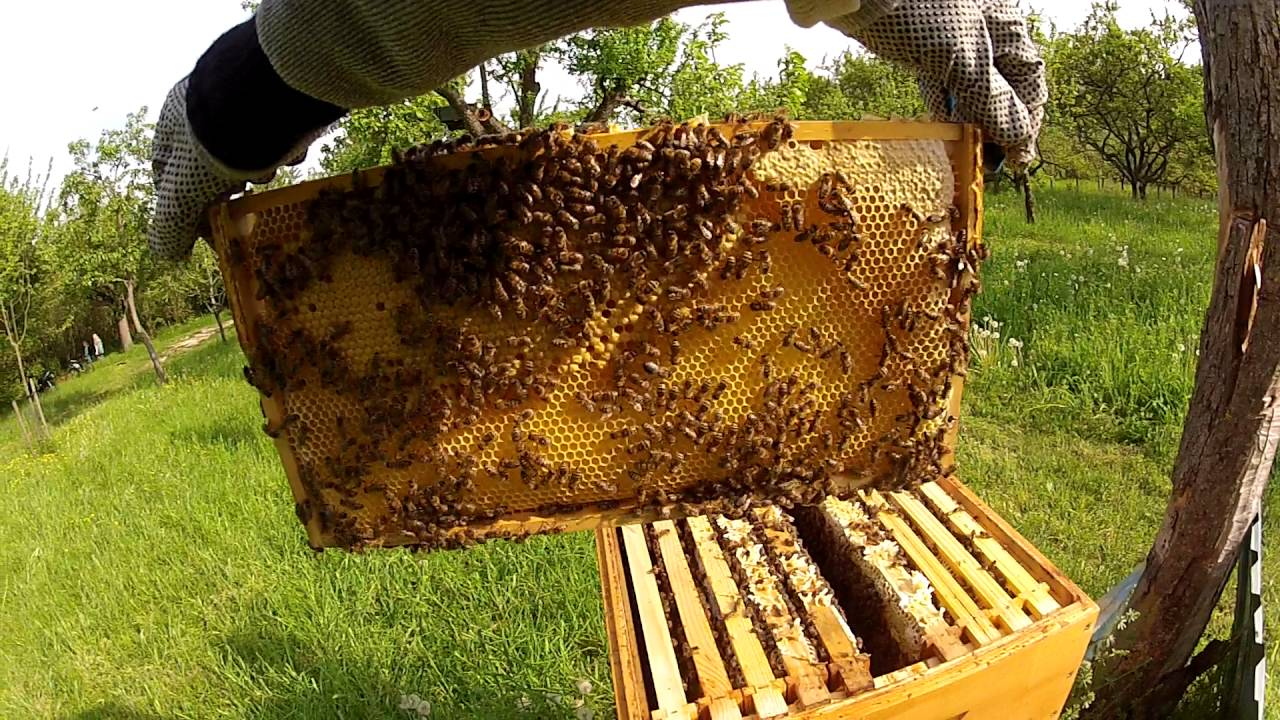 my first beehive 2 honey bee box and frame inspection 11 may