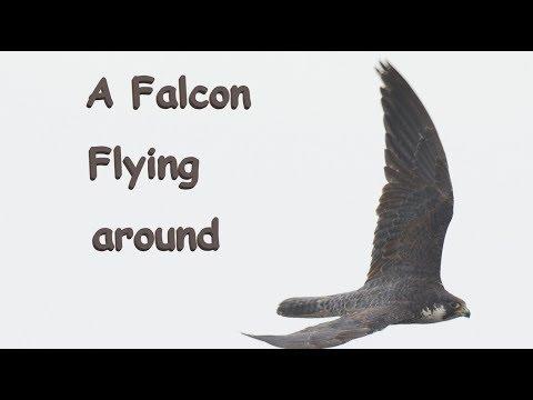 ハヤブサ Falcon 関東の海岸 9月中旬 野鳥4K 空屋根FILMS#1095