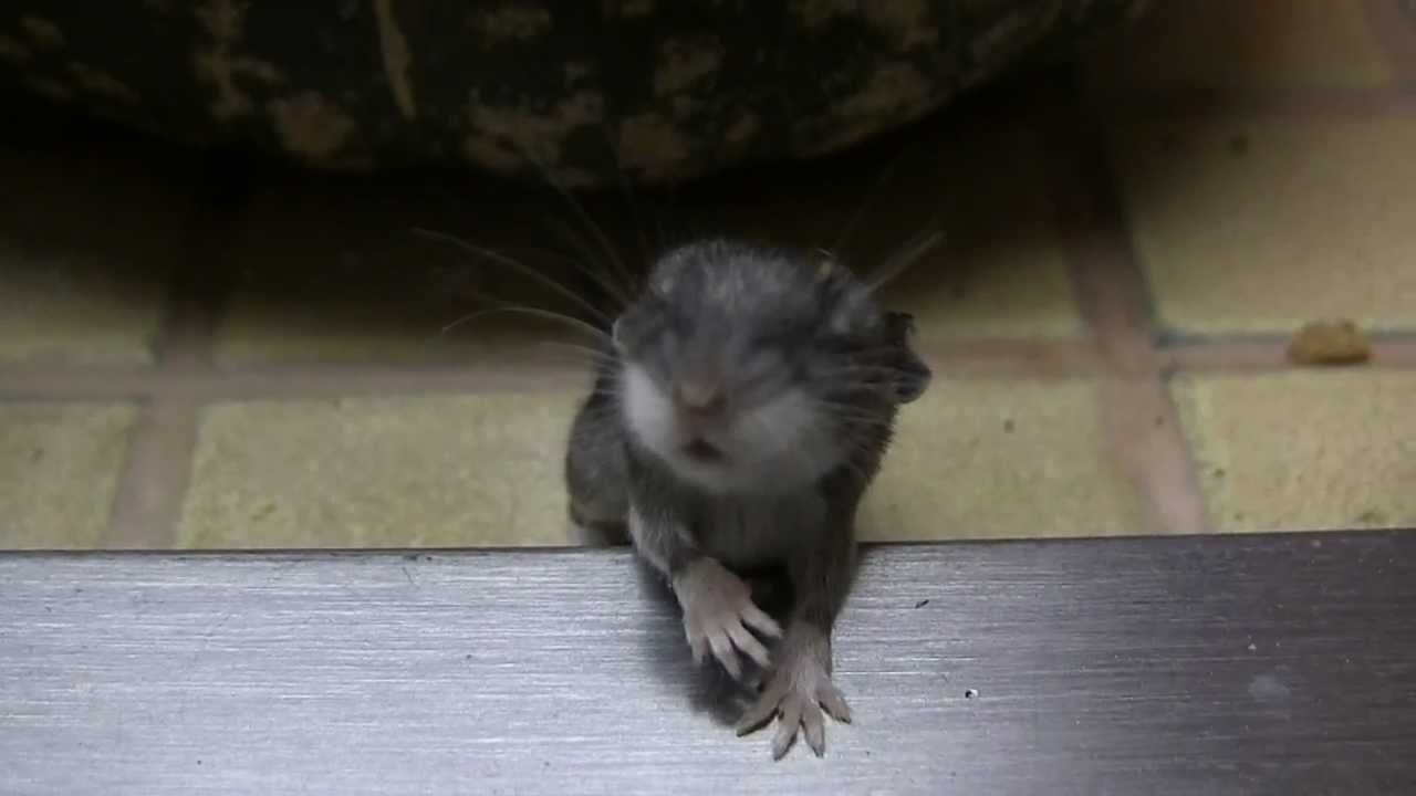 wild baby mouse found its way in the house youtube