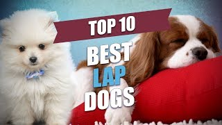 Top 10 Best Lap Dogs for Cuddly Owners
