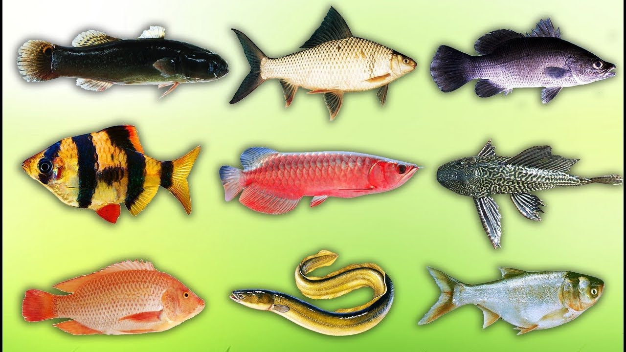 image Con Gì Đây   Bé Học Các Loài Cá   Learn about fish species