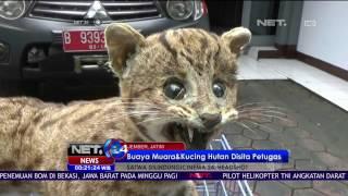 Buaya Muara dan Kucing Hutan Hasil Perburuan Liar Disita Petugas - NET24