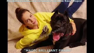 """Профессиональный  питомник щенков  Кане-Корсо  """"MAGIC BRILLIANT PRADE"""""""