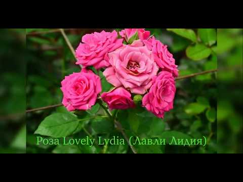 Rose Lovely Lydia  (Роза Лавли Лидия)