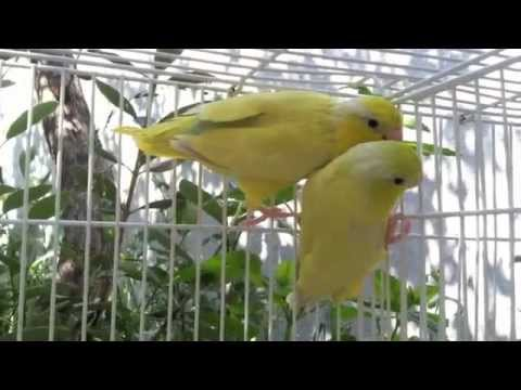 American Yellow Parrotlets - Parrotletbirds