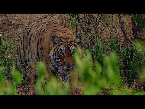 Deer Escapes Tiger!   BBC Earth