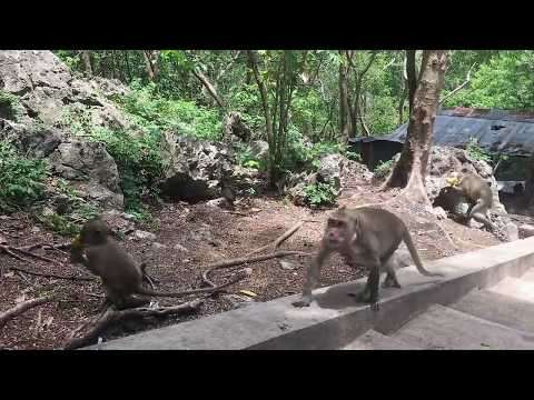 Thumbnail: Happy With Monkey Meeting Beautiful girl - Funny Monkeys Group With Girl