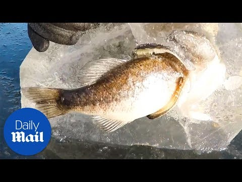 Fishermen Found A Frozen Fish With A Dead Fish In Its Mouth - Daily Mail
