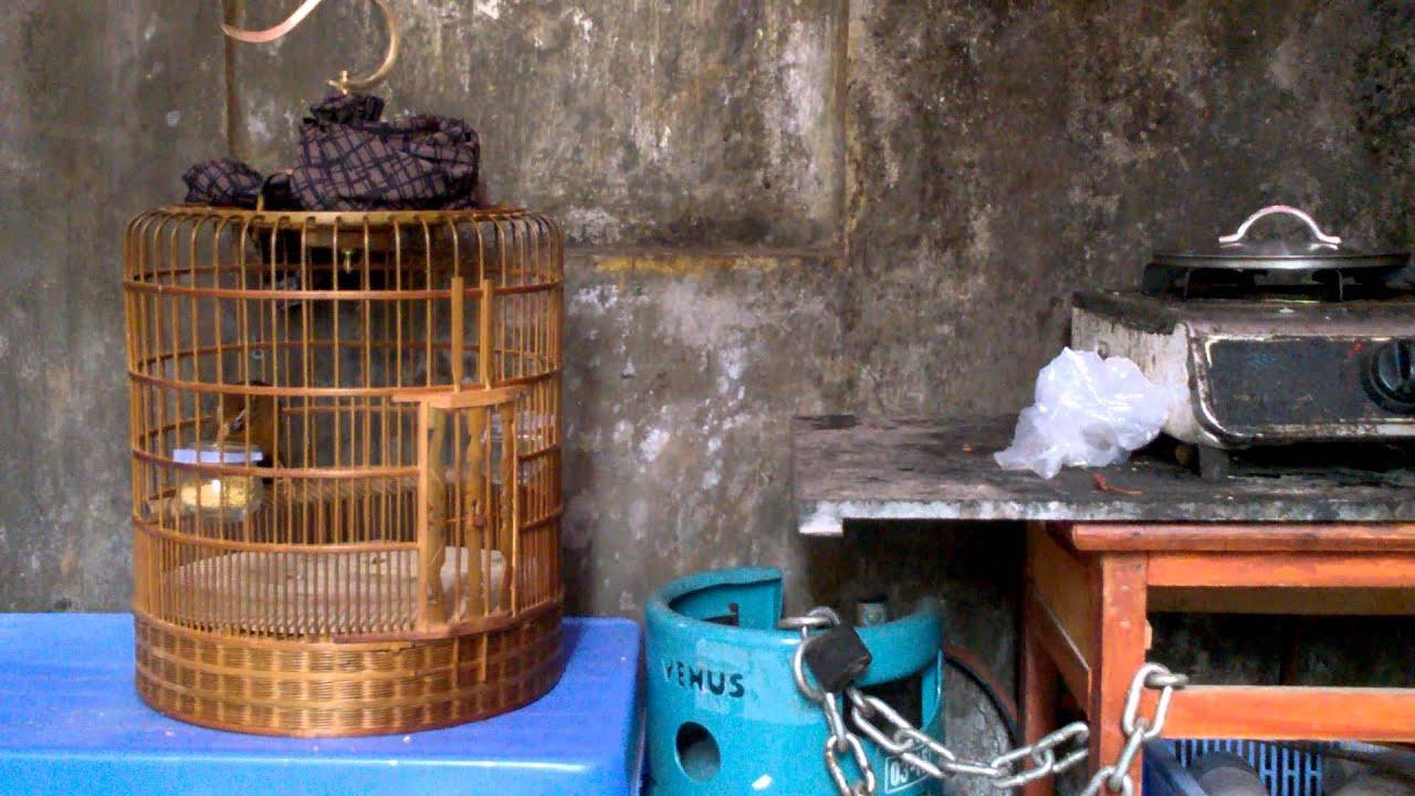 bán chim họa mi 108 SĐT 0944114410 Hà Nội ( chim cảnh đất việt )